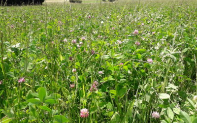 Herbal Leys Webinar 4 – Feeding and Grazing Management