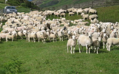 NSA Sheep Health, Wealth and Production Conference